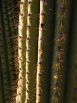 Organ Pipe Cactus Close-Up