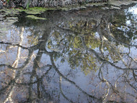 Sycamore Reflection