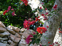 Bougainvillea on Southern Wall
